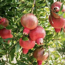annar-tree