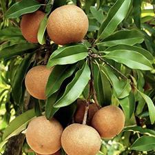 chikku-tree